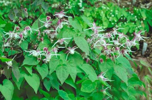 horny goat weed suppliers-Xuhuang.jpg